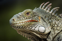 Iguana close-up Royalty Free Stock Photos