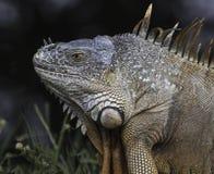 Iguana Close Up Royalty Free Stock Images