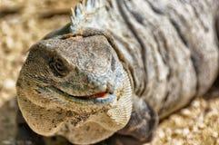 Iguana. Close-up of iguana head while it looks into camera stock image