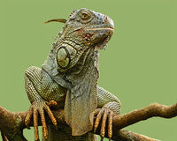Iguana. Close-up  image of a large iguana shot near Sarapiqui, Costa Rica Stock Images