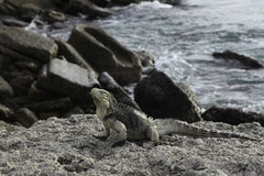 Iguana. Close up image of Iguana on rock ledge in Guantanamo Bay Cuba Stock Image