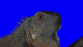 Iguana Close Up Keying stock video footage