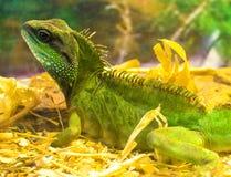 Iguana. Close-up of a male Green Iguana (Iguana iguana Royalty Free Stock Images