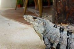 Iguana. A close up of a mexican Iguana Stock Photos