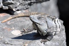 Iguana Close Up in Mexico Stock Images