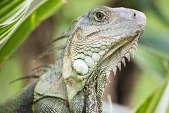 Iguana. Close up in nature royalty free stock image