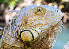 Iguana Royalty Free Stock Photos