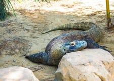 Iguana. A close up of an iguana resting head on a rock Stock Photography