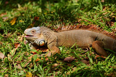 Iguana. A close up shot of a green Iguana resting on a tree branch stock image