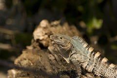 Iguana from close up sideways Royalty Free Stock Photo