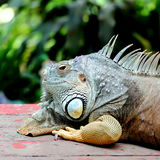Iguana. A Close-up View of Iguana Head Stock Photo