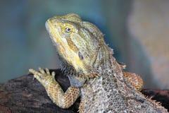 Iguana Close up View Royalty Free Stock Photography