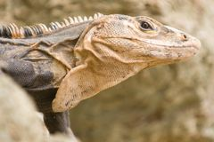 Iguana closeup detail Royalty Free Stock Images