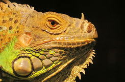 Iguana Closeup Royalty Free Stock Photo