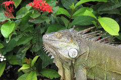 Iguana. Closeup image of an Iguana in Costa Rica Stock Photography