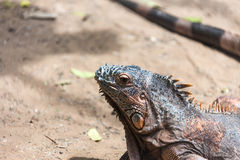 Iguana closeup Stock Photography