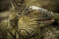 Iguana Closeup Royalty Free Stock Photo