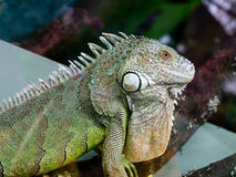 Iguana closeup Stock Images