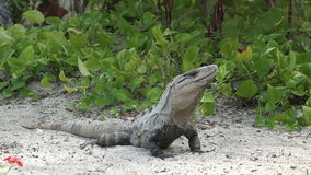 Iguana Closeup in Tropical Setting stock footage