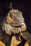 Iguana Color Portrait At Dark Background Royalty Free Stock Images