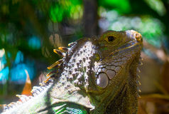 Iguana. A colorful big lizard in the zoo Royalty Free Stock Photo
