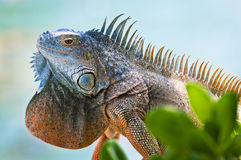 Iguana with colorful throat fan Stock Photos