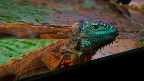 Iguana colorida Imagen de archivo