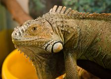 Iguana común en la mirada del terrario derecho en el ojo Imagenes de archivo