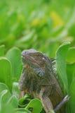 Iguana común que se sienta en Bush Fotografía de archivo libre de regalías