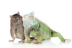 Iguana com rato junto em um fundo branco foto de stock