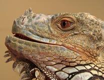Iguana comune Fotografia Stock Libera da Diritti