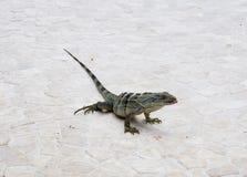 Iguana con la lengüeta hacia fuera Fotografía de archivo