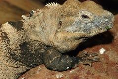 iguana Coperto di spine-munita Fotografie Stock