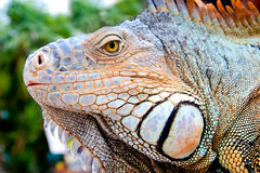 Iguana coperto di spine-munita messicana Immagine Stock