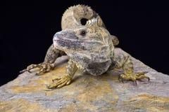 Iguana coperto di spine-munita messicano (Ctenosaura pettinato) fotografie stock