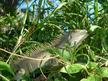 Iguana in Costa Rica Stock Photo