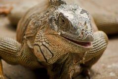 Iguana at Costa Rica. Closeup of an iguana at Costa Rica stock photo