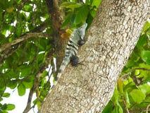 Iguana Costa Rica de la playa de Playa Esterillos Imagenes de archivo