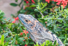 Iguana in Costa Rica Royalty Free Stock Images
