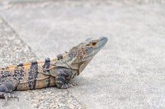 Iguana in Costa Rica Royalty Free Stock Photo