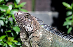 Iguana in Costa Rica Royalty Free Stock Photos