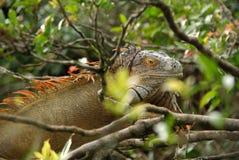 Iguana in Costa Rica Stock Photos
