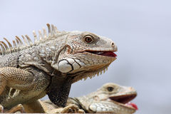 Iguana couple Stock Photos