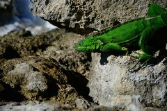 Iguana at Cozumel beach. Iguana capture when it was taking a sunbath near the beach Royalty Free Stock Photography