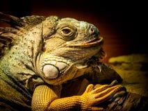 Iguana in Cptivity Fotografie Stock Libere da Diritti