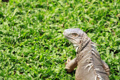 Iguana Crawling On The Green Glass Royalty Free Stock Image
