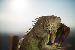Iguana crawling on a piece of wood and posing Royalty Free Stock Photo