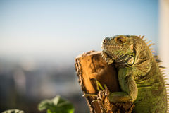 Iguana crawling on a piece of wood and posing. Iguana crawling on a piece of wood Royalty Free Stock Photography