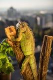 Iguana crawling on a piece of wood and posing.  Stock Image