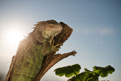 Iguana crawling on a piece of wood. And posing Stock Photography